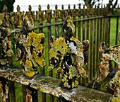 Lichen on iron railings in unpolluted air