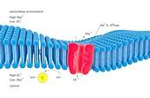 Na-K membrane ion pump,illustration