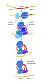 Pre-RNA splicing mechanism,illustration