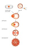 Animal cloning process,illustration