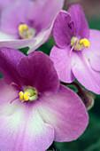 African Violet (Saintpaulia sp.) flowers