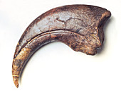 Thumb claw of Baryonyx theropod dinosaur