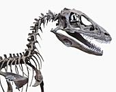 Skeleton of a Deinonychus