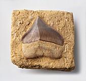 Fossilised tooth of Crow Shark