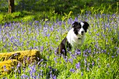 A Border Collie amongst Bluebells