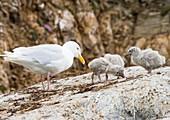 A Glaucous Gull (Larus hyperboreus)