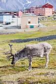 A male Svalbard Reindeer