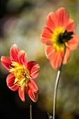 Dahlias flowering in Autumn