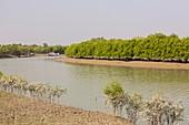 Mangroves in the Sunderbans