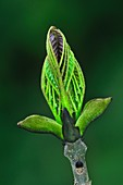 Ash foliage bud