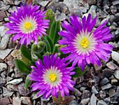 Delosperma ashtonii flowers