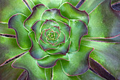 Aeonium arboreum 'Voodoo' leaves abstract