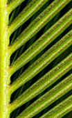 Japanese sago palm abstract
