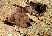 Chocolate-tip moth