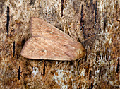 Neglected rustic moth