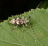 Black-clouded longhorn beetle