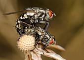 Flesh-flies mating