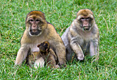 Barbary macaques and baby