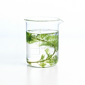 Pondweed photosynthesis