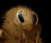 Bumblebee head,SEM