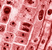 Mitosis,light micrograph