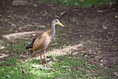 A Giant Wood Rail,Aramides ypecaha