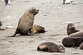 Antarctic Fur Seals