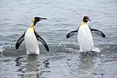 King Penguins emerge from a fishing trip