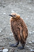 A young King Penguin