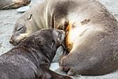 A female Antarctic Fur Seal