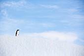 An Adelie Penguin on an iceberg