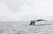Humpback Whales feeding on Krill