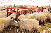 Sheep feeding on hay