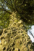 Knobbly growths on a Holly tree