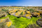 Green algae and yellow lichen