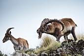 Male Walia Ibex checking a females odour