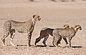 Cheetah mother and cubs preparing to hunt