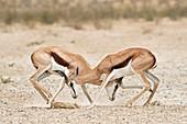 Springbok males in territorial combat
