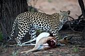 Leopard with Springbok prey