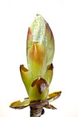 Breaking bud of Aesculus hippocastanum