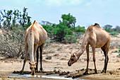Dromedary camels drinking