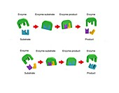 Enzyme action,illustration