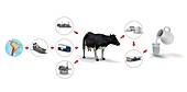 Milk production,illustration
