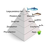 Trophic levels in the sea,illustration