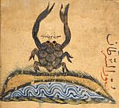 Crab,illustration