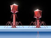 Bacteriophage infecting E. coli bacterium