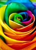 Rainbowed Rose