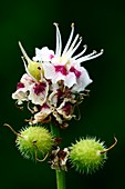 Horse chestnut flowers and fruits