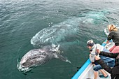 Watching gray whales