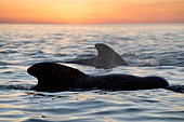 Pilot whales at dawn
